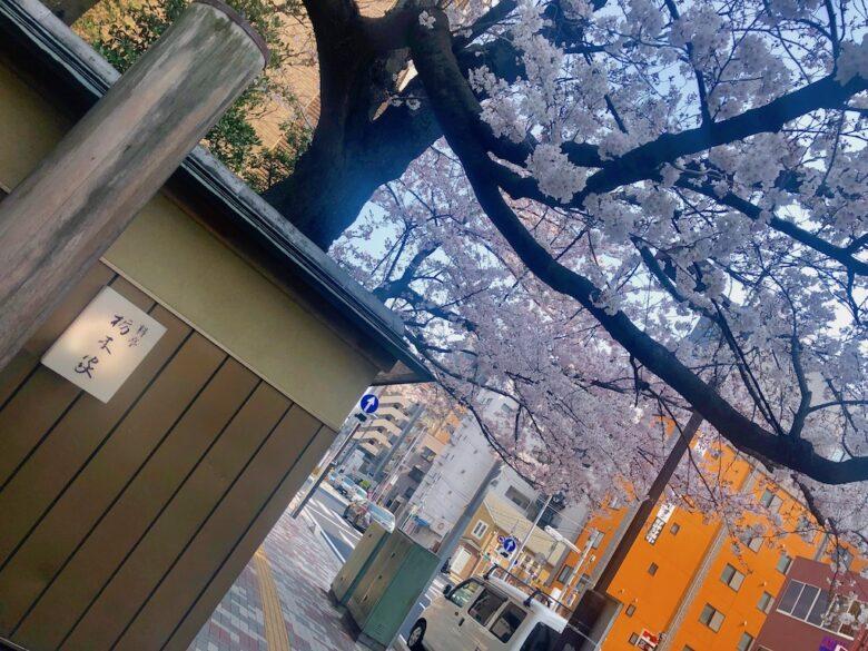 栃木家の玄関先の桜