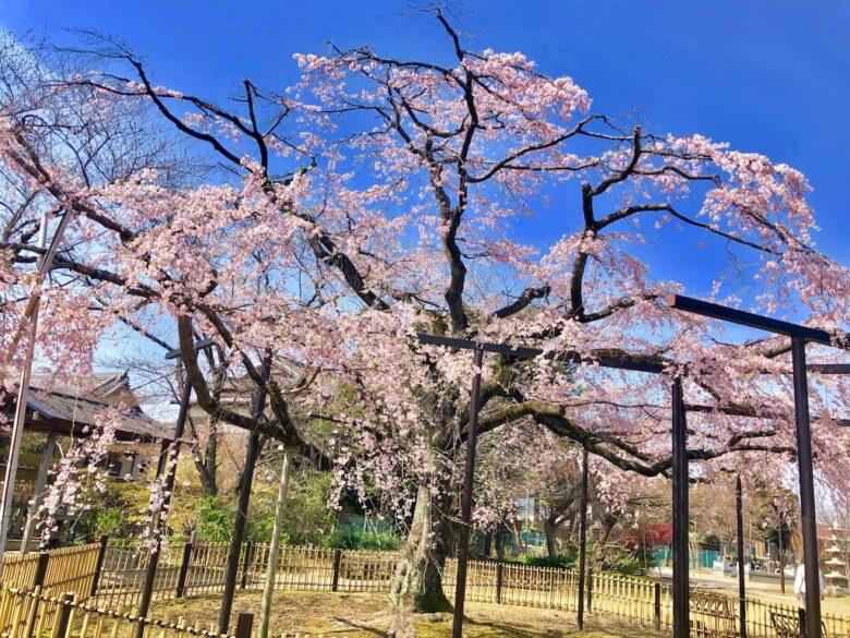 しだれ桜のアップした写真