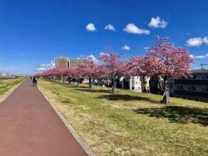 市川南の土手の等間隔に並んだ河津桜