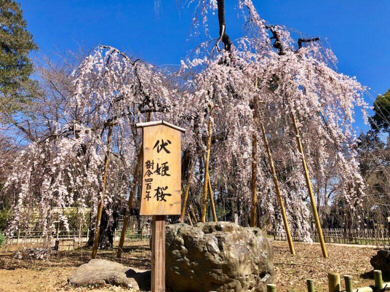 真間山弘法寺の伏姫桜