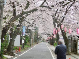 里見公園までの桜並木