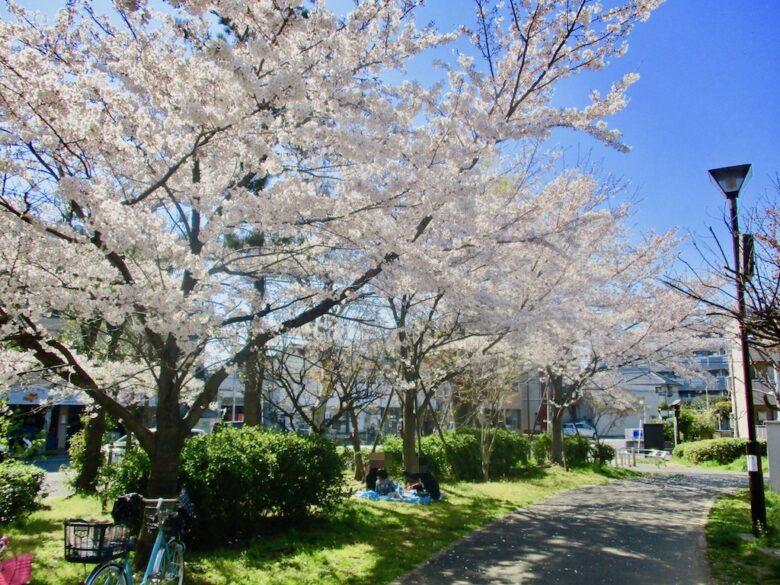 大洲防災公園の産業道路側の桜