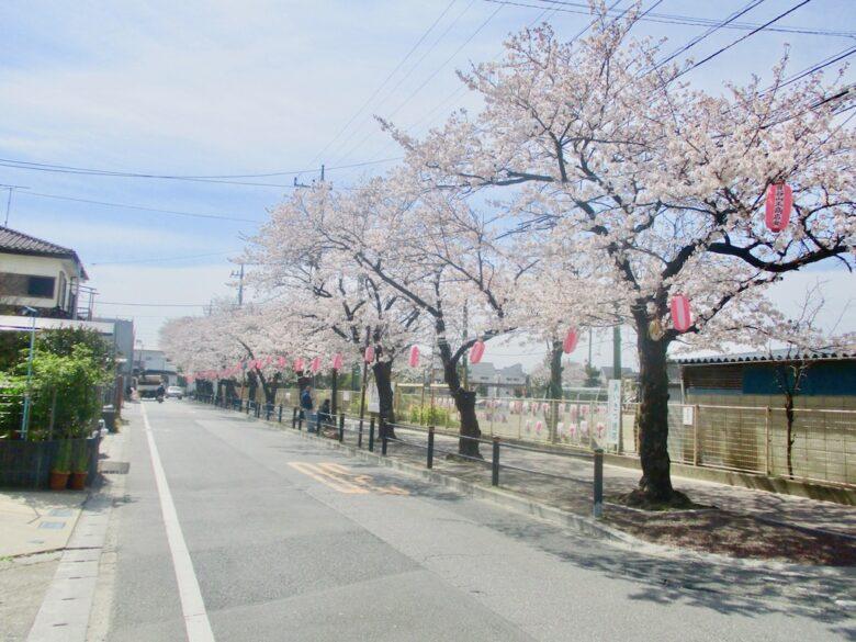 曽谷小学校前の桜並木