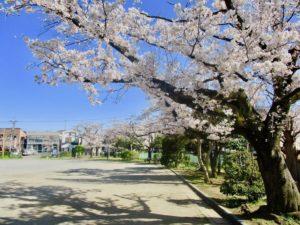 子の神中央公園の桜