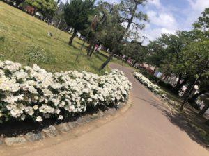 行徳駅前公園のバラ園へと続く道