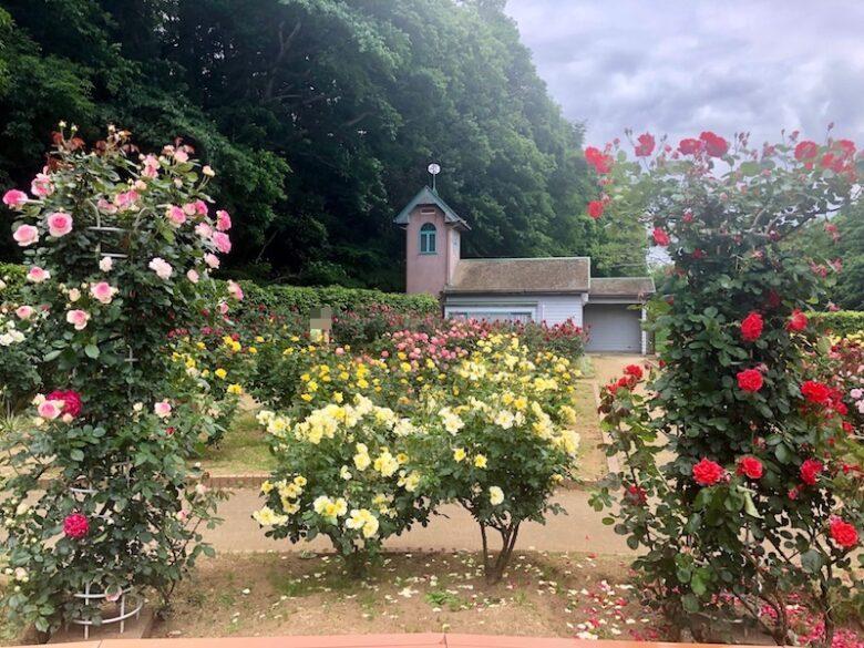 第7回市川市動植物園バラまつり2019が大町公園のバラ園で開催!