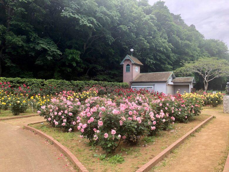大町公園のバラ園の時計台とバラ