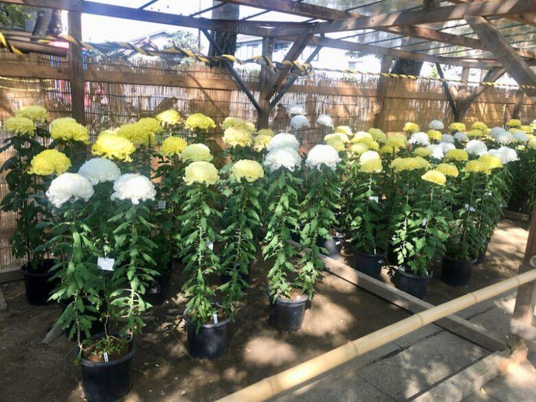 展示されている菊