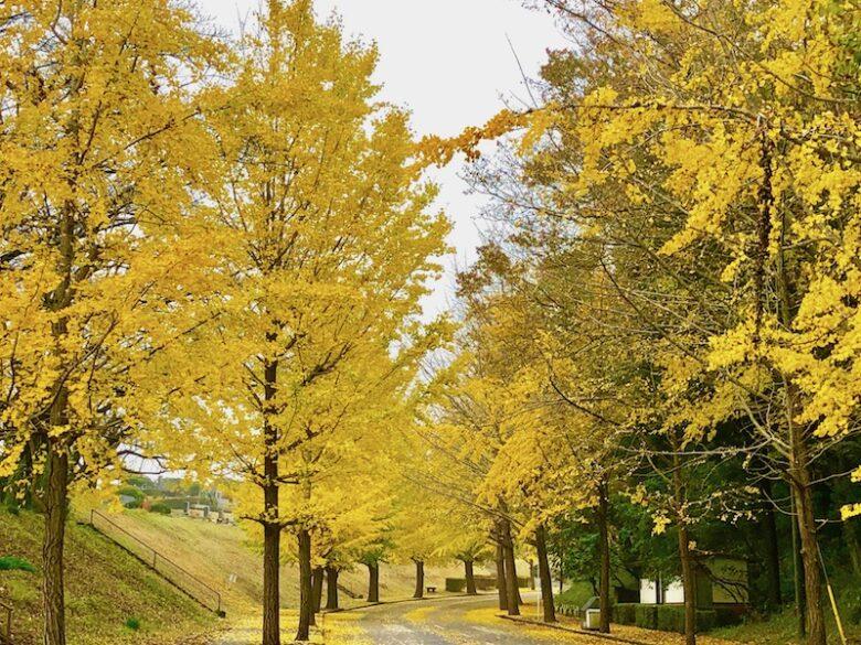 黄色に染まった市川市営霊園のイチョウ